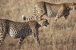 allégorie du safari