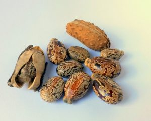 graines de ricin