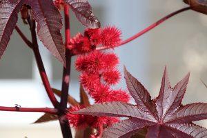 ricin feuille fleur