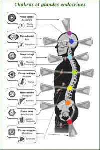 Cinq tibétains, chakras et glandes endocrines